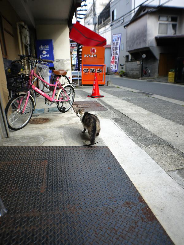 店内を歩く毛長の猫1