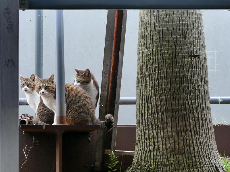 立体駐車場脇の猫たち3
