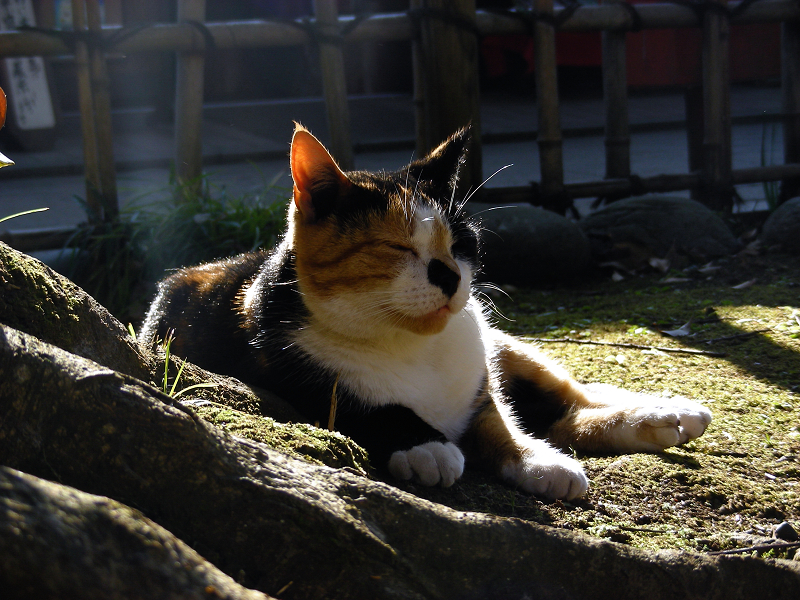 光と根っこに座ってる三毛猫1