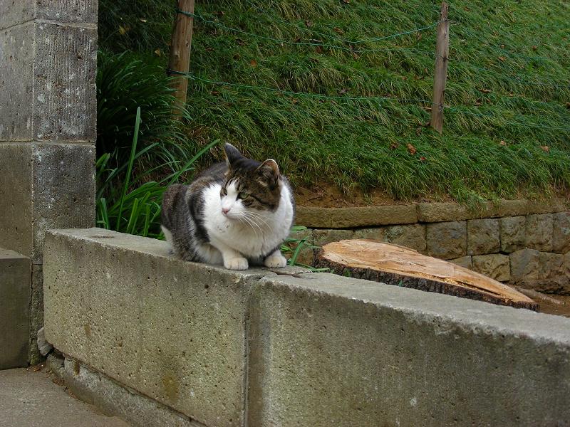境石に乗っているキジ白猫1