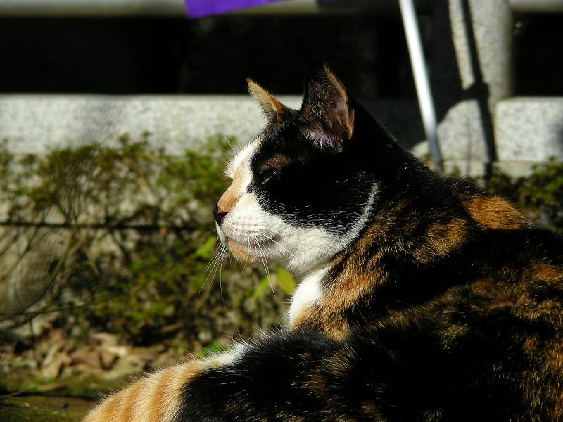 光と根っこに座ってる三毛猫2