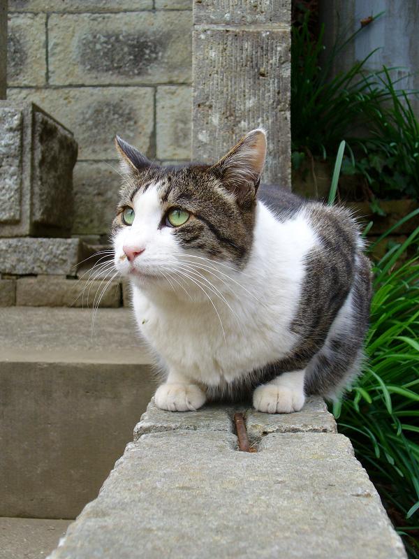 境石に乗っているキジ白猫2