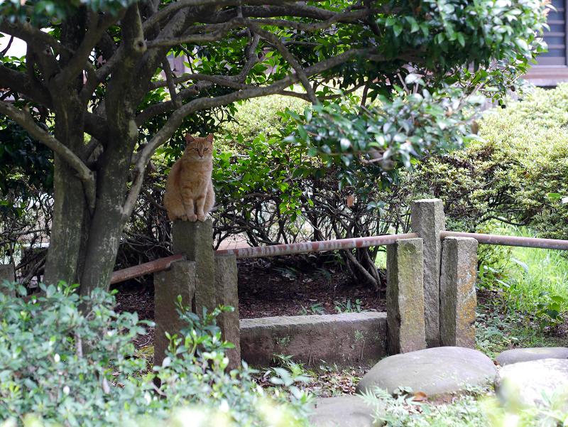 玉垣パイプに乗っている茶トラ猫