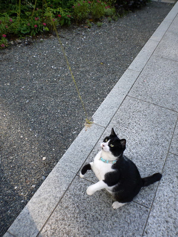 風になびくオモチャを追いかける黒白猫2