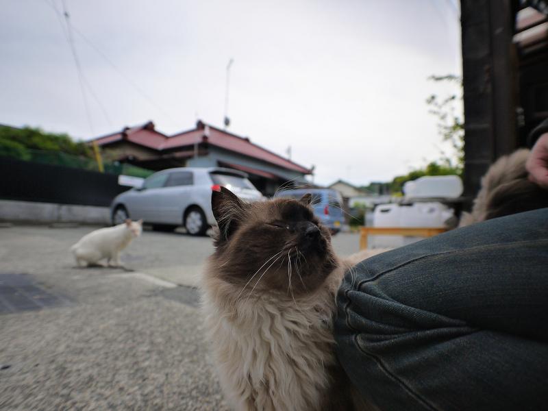 足元の毛長洋風猫2