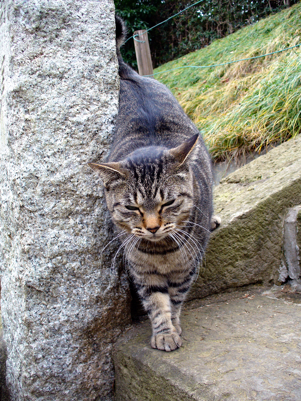階段石柱のキジトラ猫