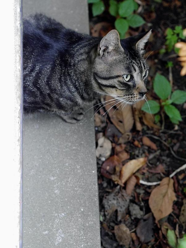 隙間から体を出しているキジトラ猫2