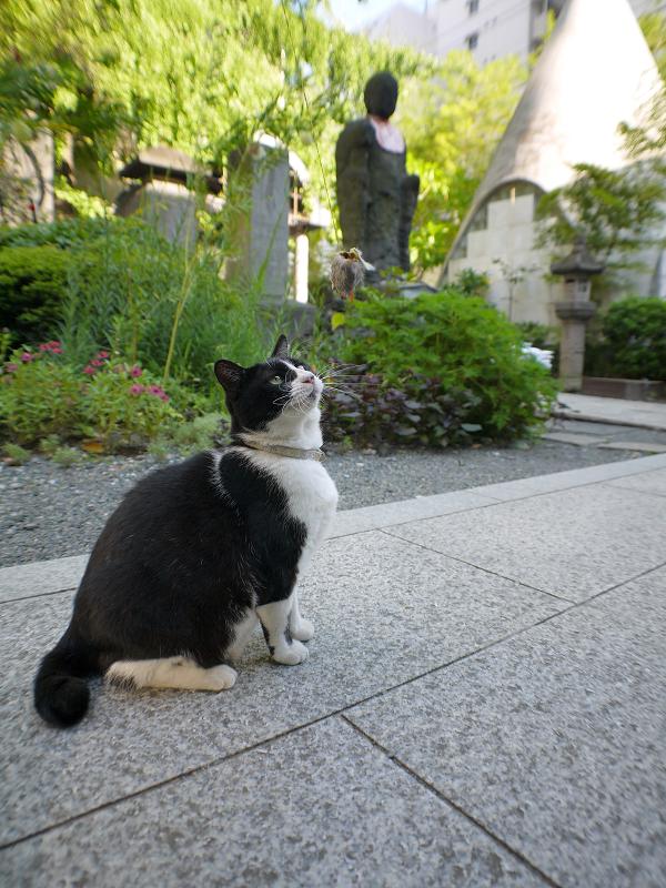 オモチャで遊ぶ黒白猫1