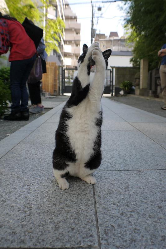 オモチャで遊ぶ黒白猫2