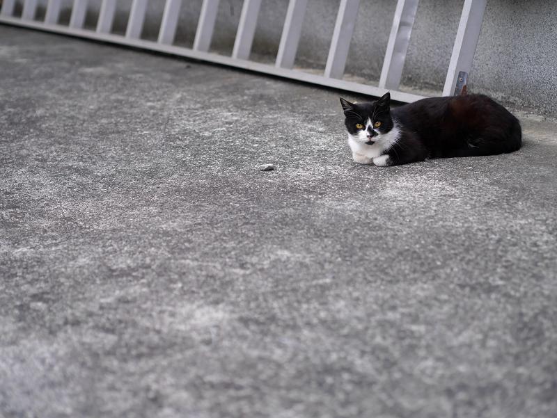 駐車場ハシゴ黒白猫1
