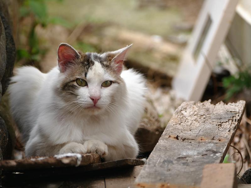 板の上の毛長の猫1
