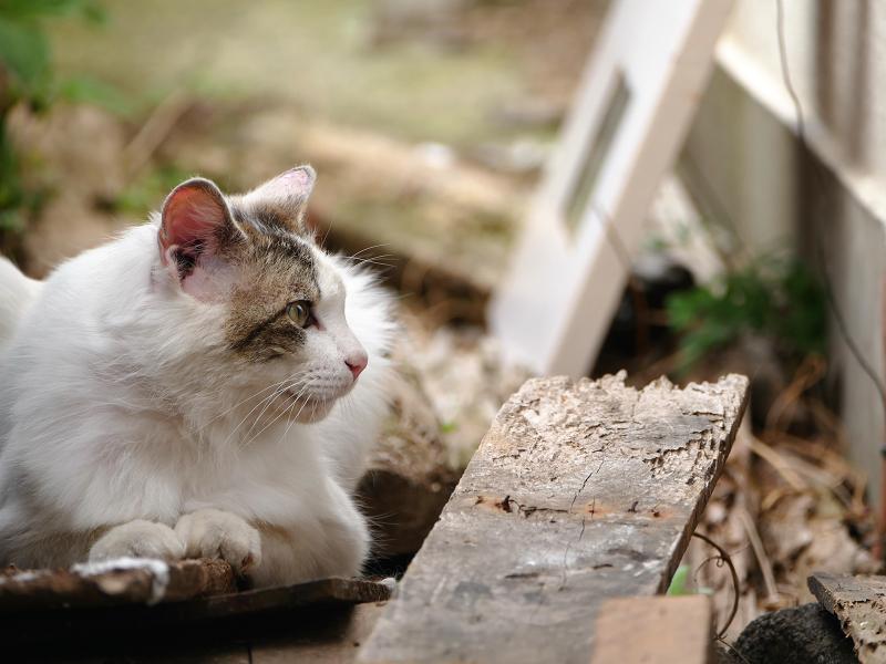 板の上の毛長の猫2