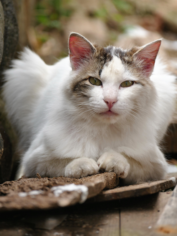 板の上の毛長の猫3