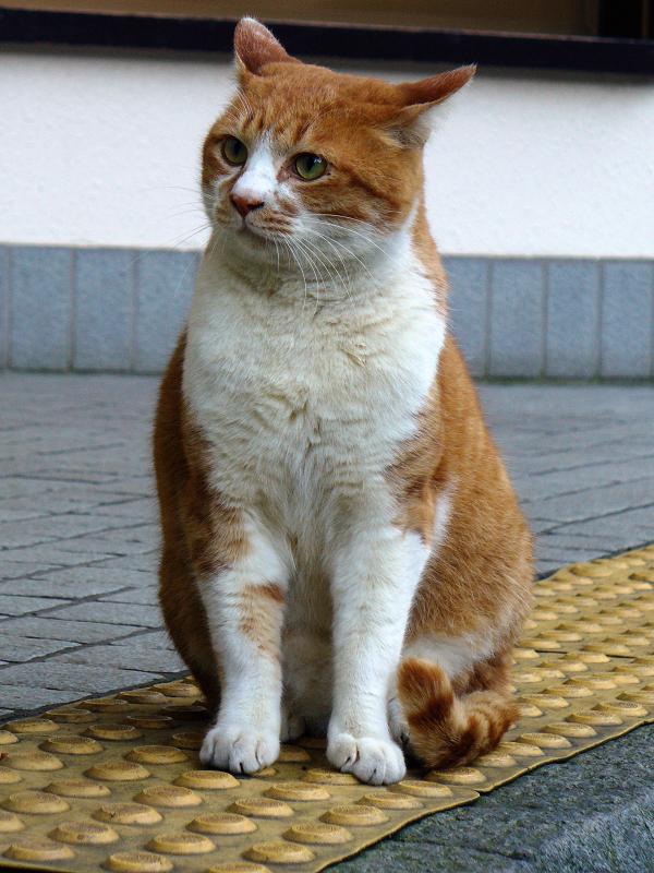 眼差しが真剣な茶白猫1