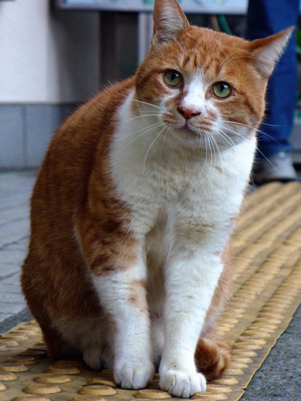 眼差しが真剣な茶白猫2