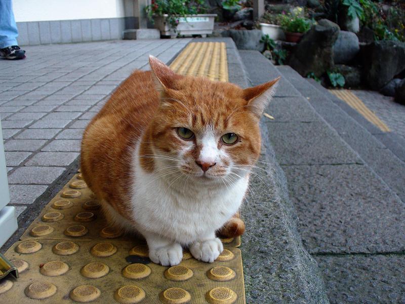 眼差しが真剣な茶白猫3