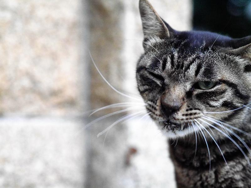 井戸の横であくびするキジトラ猫1