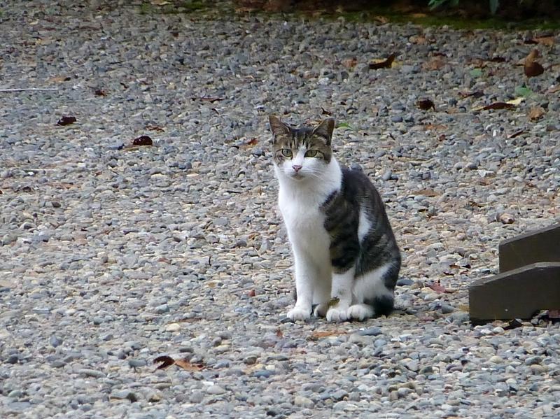 境内玉砂利とキジ白猫1