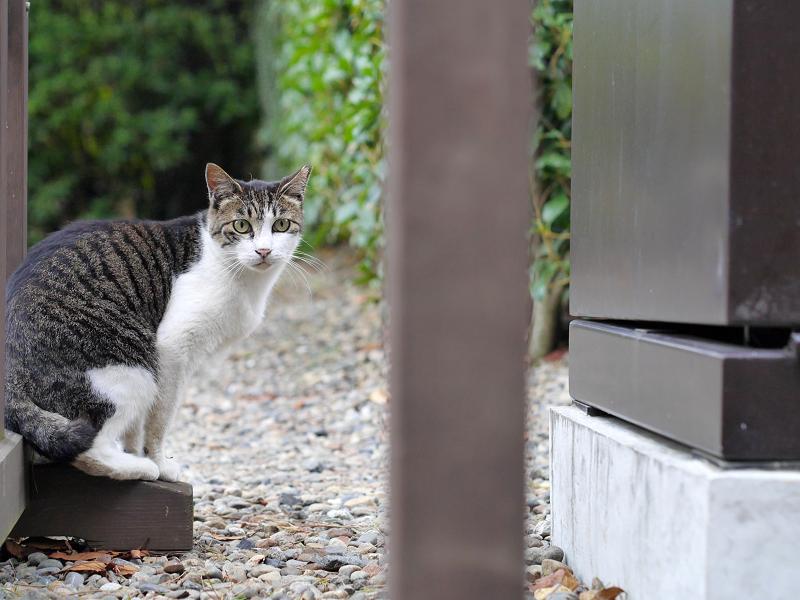 境内玉砂利とキジ白猫2