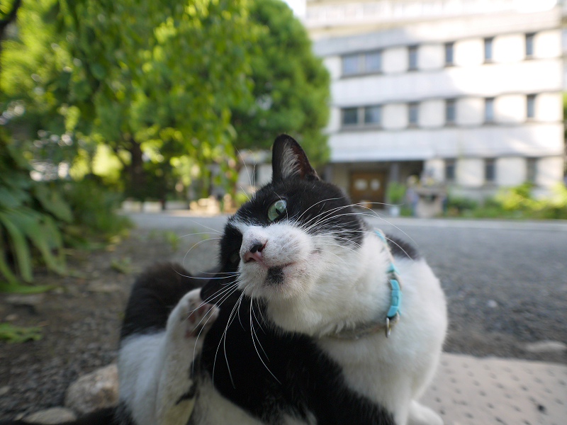 夢中で掻いている黒白猫1