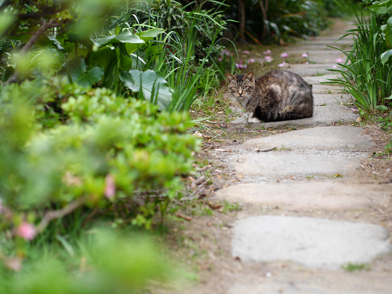 玄関庭先のキジ白猫1