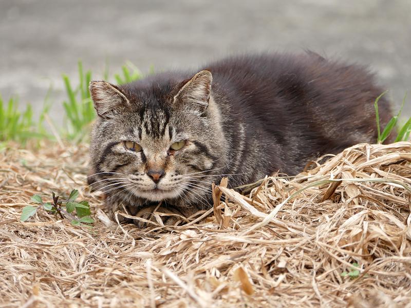 枯れ草上のキジトラ猫