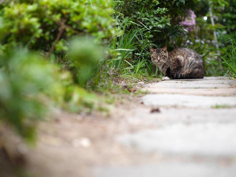 玄関庭先のキジ白猫2