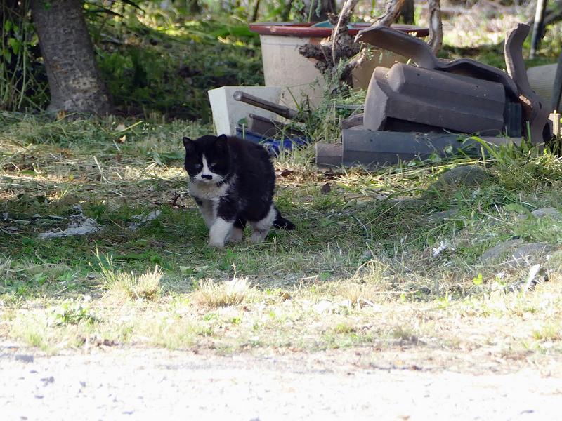 遠くで見かけた黒白猫3