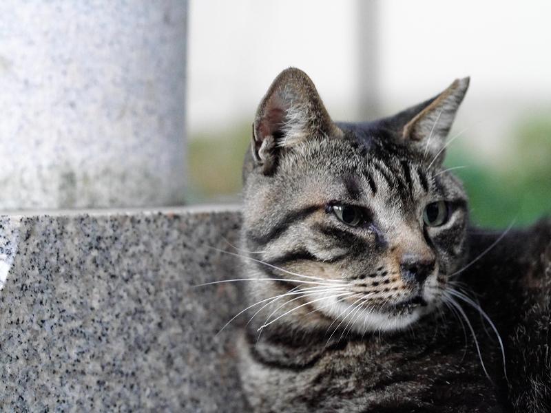 井戸横でベロを出すキジトラ猫1