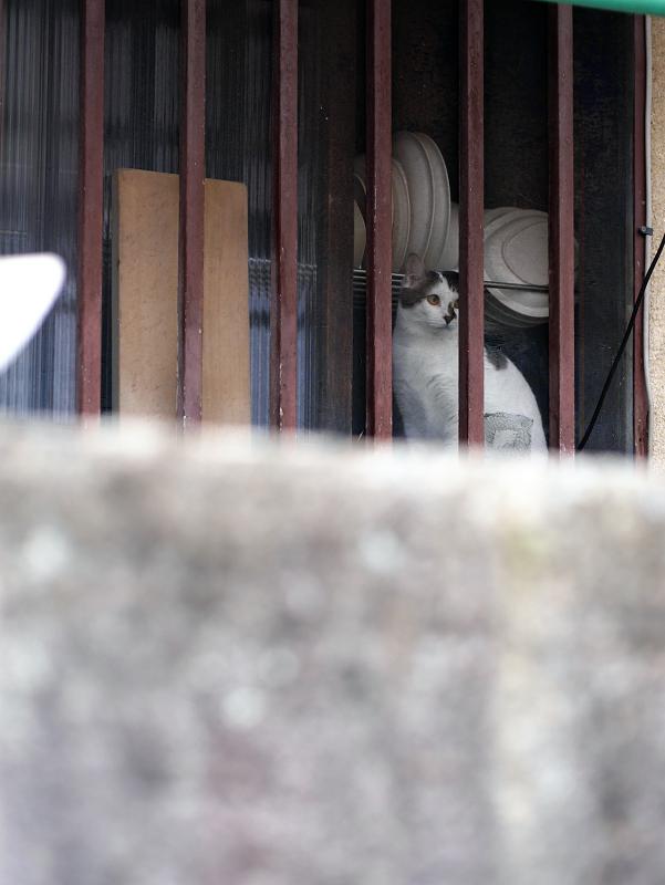 民家台所から外を見ている白キジ猫1