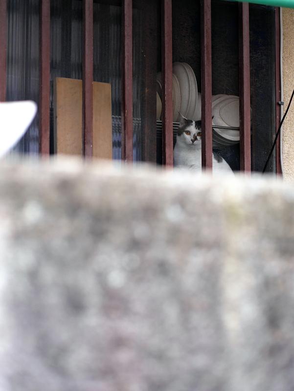 民家台所から外を見ている白キジ猫2