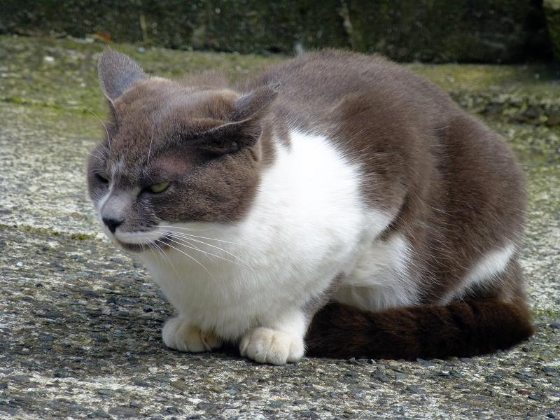 グレー白猫