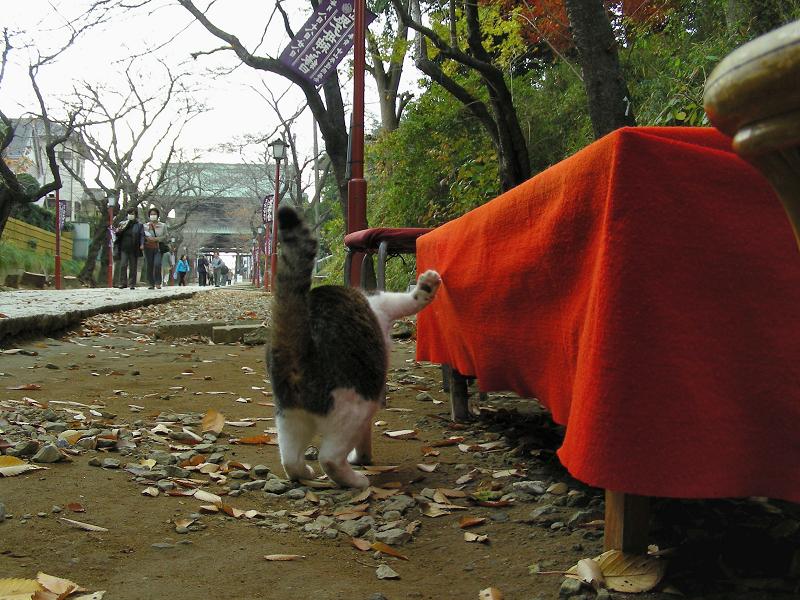 参道を歩くキジ白猫の後ろ姿1