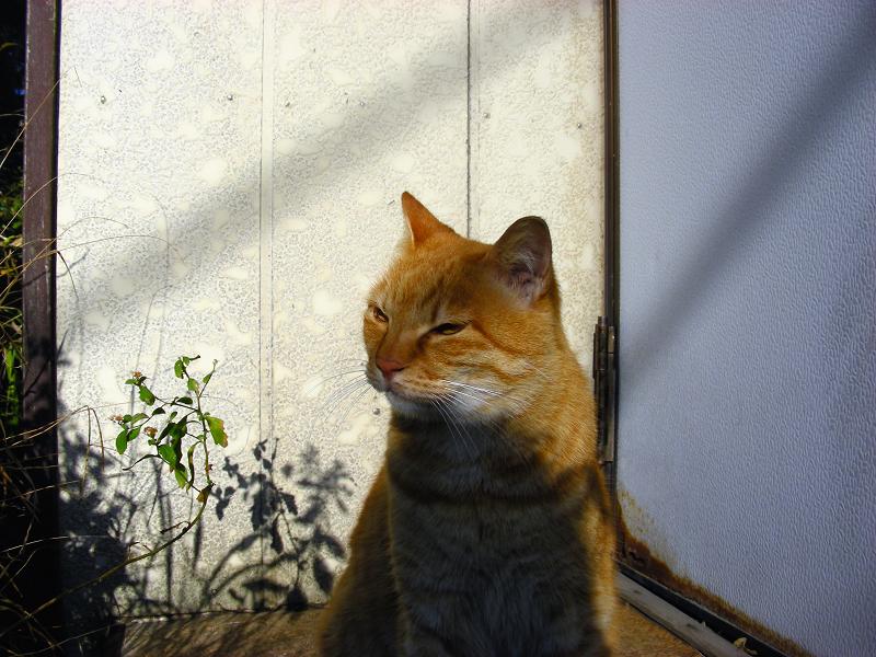 陽射しと茶トラ猫2