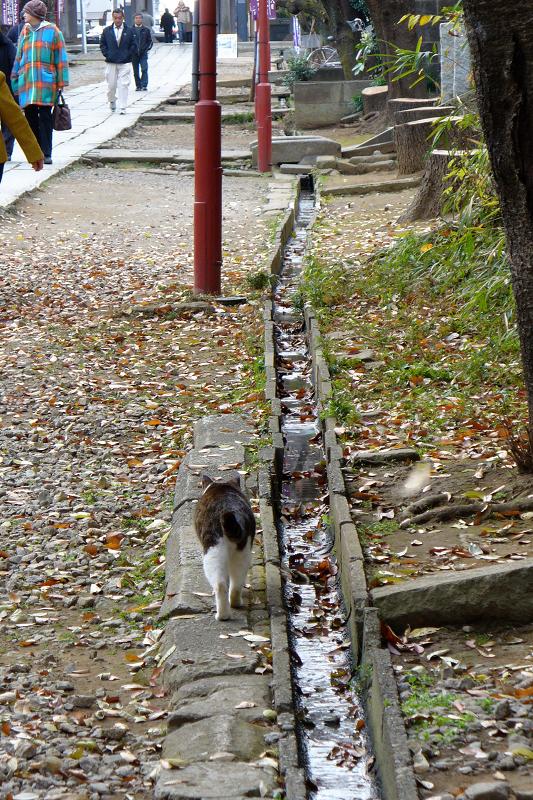 参道を歩くキジ白猫の後ろ姿2