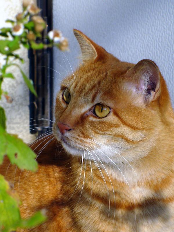 陽射しと茶トラ猫3