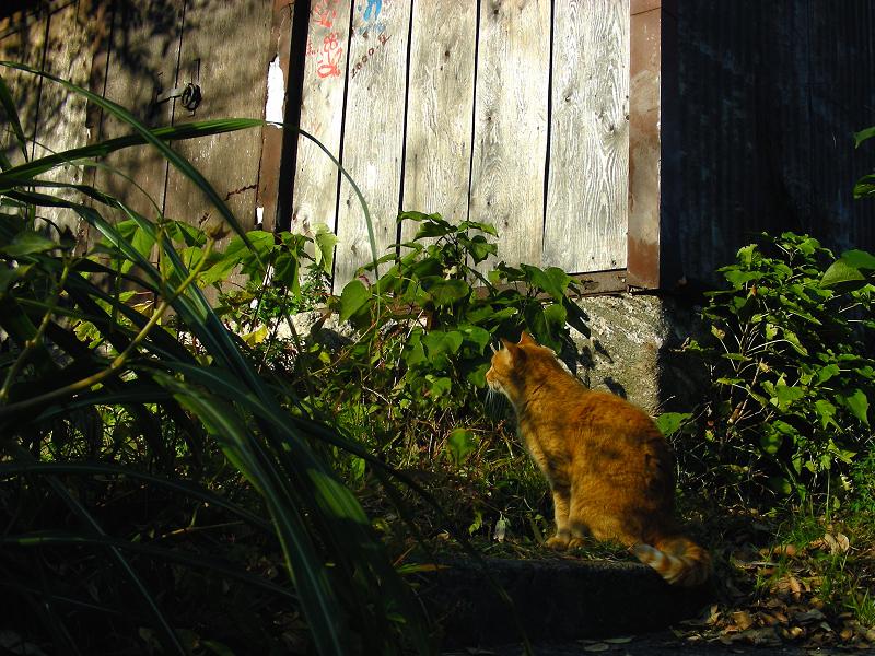 陽射しと茶トラ猫4