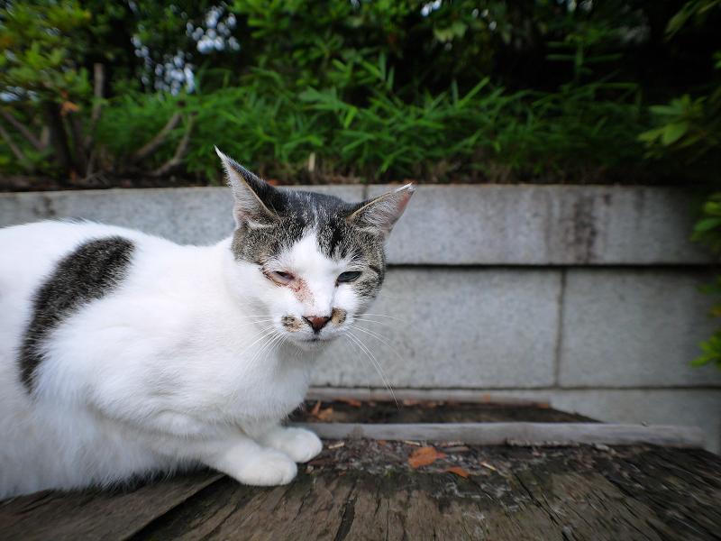 小屋根で寝ていた白キジ猫の寝起き顔1