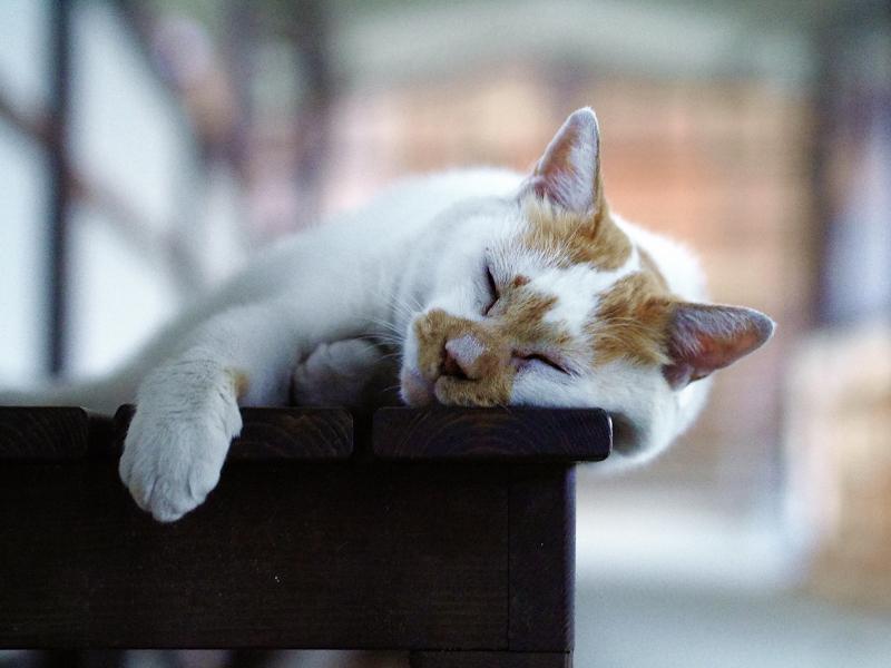 通路ベンチで寝てる白茶猫1