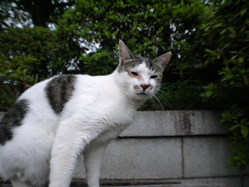 小屋根で寝ていた白キジ猫の寝起き顔2
