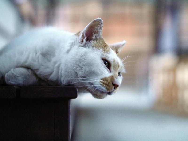 通路ベンチで寝てる白茶猫2