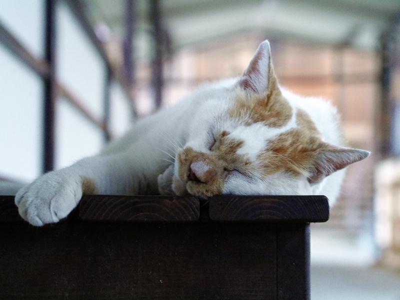 通路ベンチで寝てる白茶猫3