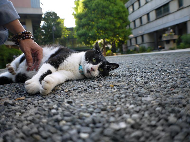 境内で横になっている黒白猫の腹触り1