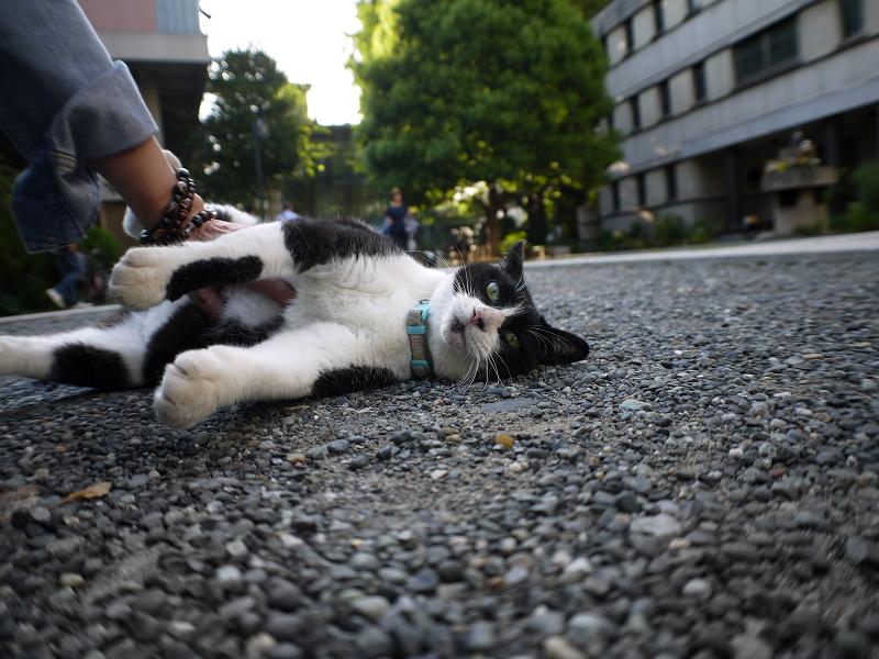 境内で横になっている黒白猫の腹触り2