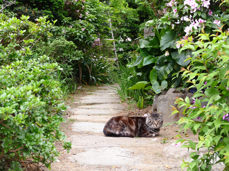 民家玄関道のキジトラ猫