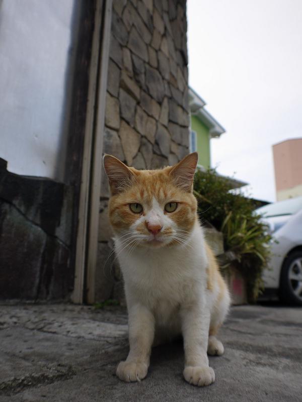 レンズを見つめる茶白猫1