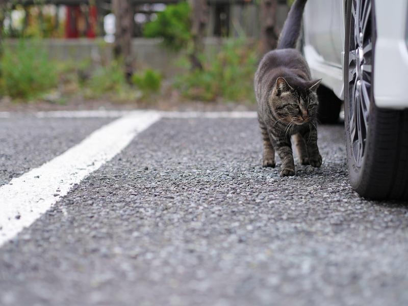 白い車とキジトラ猫2