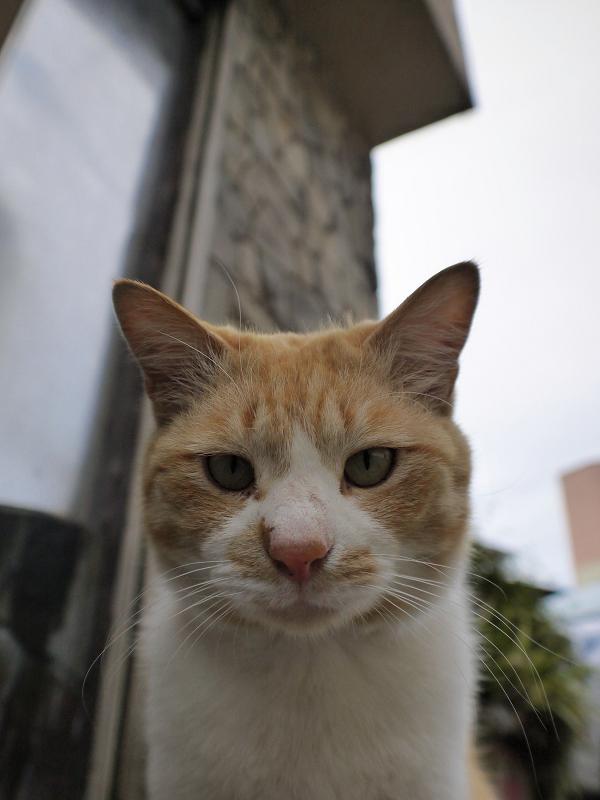 レンズを見つめる茶白猫2