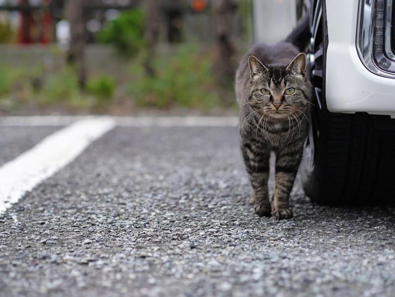 白い車とキジトラ猫3