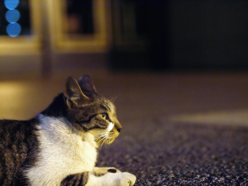 夕暮れ境内のキジ白猫1